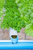 Οργανικό υδροπονικό λαχανικό σε ένα αγρόκτημα, γεωργία. Στοκ φωτογραφία με δικαίωμα ελεύθερης χρήσης