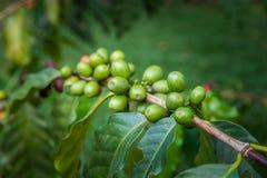 Οργανικό φασόλι καφέ σε έναν κλάδο, arabica ανάπτυξη στη φυτεία καφέ του νησιού του Μπαλί, Ubud, Ινδονησία Στοκ εικόνες με δικαίωμα ελεύθερης χρήσης