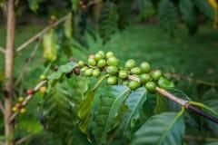 Οργανικό φασόλι καφέ, arabica ανάπτυξη στη φυτεία καφέ του νησιού του Μπαλί, Ubud, Ινδονησία Στοκ Φωτογραφίες