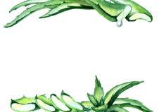 Οργανικό Aloe πρότυπο της Βέρα Συρμένη χέρι ανασκόπηση Watercolor Απεικόνιση αποθεμάτων