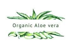 Οργανικό Aloe υπόβαθρο της Βέρα Συρμένη χέρι απεικόνιση Watercolor Ελεύθερη απεικόνιση δικαιώματος