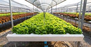 Οργανικό hydroponics αγρόκτημα καλλιέργειας μαρουλιού Στοκ εικόνες με δικαίωμα ελεύθερης χρήσης