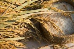 Οργανικό jasmine ορυζώνα ρύζι στοκ εικόνα