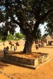 Οργανωμένο παλαιό δέντρο στο mahabalipuram- πέντε rathas σύνθετα Στοκ Εικόνες