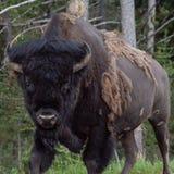 Οργιμένος Buffalo του Bull στοκ εικόνα