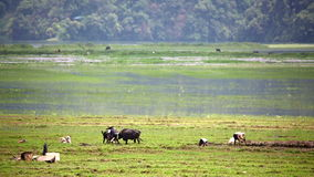 οργώνοντας με το βόδι, Pokhara, Νεπάλ φιλμ μικρού μήκους