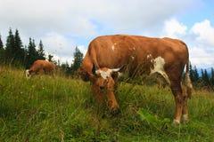 ορεινές περιοχές αγελάδ Στοκ φωτογραφία με δικαίωμα ελεύθερης χρήσης