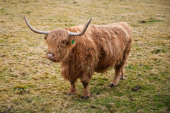ορεινή περιοχή αγελάδων Στοκ φωτογραφία με δικαίωμα ελεύθερης χρήσης