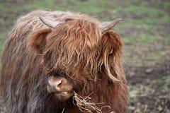 ορεινή περιοχή αγελάδων Στοκ Εικόνες
