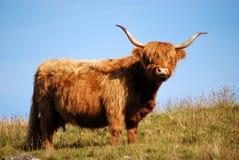 ορεινή περιοχή αγελάδων Στοκ Εικόνα