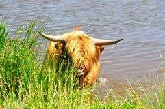 ορεινή περιοχή βοοειδών Στοκ φωτογραφίες με δικαίωμα ελεύθερης χρήσης