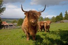 ορεινή περιοχή βοοειδών Στοκ φωτογραφία με δικαίωμα ελεύθερης χρήσης