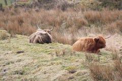 ορεινή περιοχή δύο αγελάδων Στοκ εικόνες με δικαίωμα ελεύθερης χρήσης