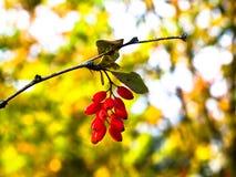 ορεκτικό barberry φρέσκο κόκκιν&om Στοκ φωτογραφία με δικαίωμα ελεύθερης χρήσης