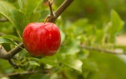 Οριζόντια κόκκινα μήλα σύνθεσης που αυξάνονται την ανατολική Ουάσιγκτον Στοκ εικόνες με δικαίωμα ελεύθερης χρήσης
