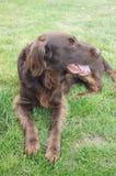 Οριζόντια ντυμένο retriever σκυλί Στοκ φωτογραφίες με δικαίωμα ελεύθερης χρήσης