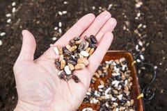 Σύνολο χεριών των σπόρων φασολιών Στοκ εικόνες με δικαίωμα ελεύθερης χρήσης