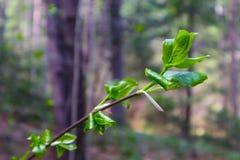 Οριζόντια φωτογραφία που απεικονίζει μια μακρο άποψη άνοιξη του δέντρου brunc Στοκ φωτογραφία με δικαίωμα ελεύθερης χρήσης
