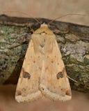 Οριοθετημένος σκώρος αχύρου (peltigera Heliothis) στοκ φωτογραφία