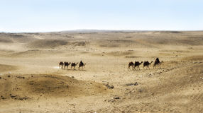 οροπέδιο giza της Αιγύπτου καμηλών του Καίρου Στοκ Εικόνες