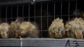 Ορτύκια στα κλουβιά στο φάρμα πουλερικών απόθεμα βίντεο