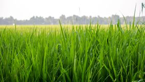Ορυζώνας εγκαταστάσεων ρυζιού από Kuttanadu Alappuzha στοκ εικόνα με δικαίωμα ελεύθερης χρήσης