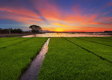 Ορυζώνας ηλιοβασιλέματος Στοκ Φωτογραφία