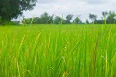 Ορυζώνας και το ρύζι. Στοκ εικόνα με δικαίωμα ελεύθερης χρήσης