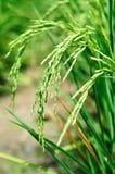 Ορυζώνας ρυζιού σε έναν τομέα Στοκ φωτογραφίες με δικαίωμα ελεύθερης χρήσης