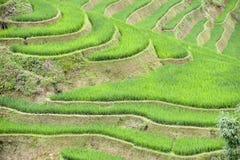 Ορυζώνας ρυζιού του Βιετνάμ Στοκ Φωτογραφία