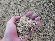 Ορυζώνας (ρύζι) Στοκ φωτογραφία με δικαίωμα ελεύθερης χρήσης