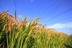 Ορυζώνες ρυζιού Στοκ φωτογραφία με δικαίωμα ελεύθερης χρήσης