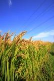 Ορυζώνες ρυζιού Στοκ Εικόνα