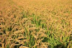 Ορυζώνες ρυζιού Στοκ Εικόνες