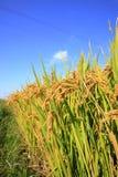 Ορυζώνες ρυζιού Στοκ εικόνα με δικαίωμα ελεύθερης χρήσης