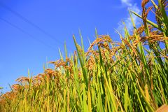 Ορυζώνες ρυζιού Στοκ Φωτογραφίες