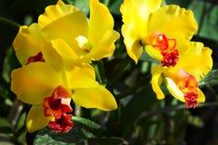 Ορχιδέα Cattleya λουλουδιών κίτρινο και κόκκινο με τα φύλλα υπαίθρια Υπόβαθρο Στοκ Φωτογραφίες