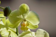 Ορχιδέα Phalaenopsis aphrodite κίτρινο Φωτογράφιση του πρώτου προσώπου ενός λουλουδιού Βοτανικά λουλούδια PL Phytology της βιολογ Στοκ φωτογραφίες με δικαίωμα ελεύθερης χρήσης