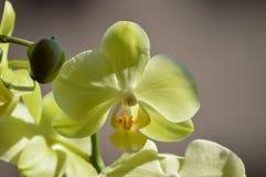 Ορχιδέα Phalaenopsis aphrodite κίτρινο Φωτογράφιση του πρώτου προσώπου ενός λουλουδιού Βοτανικά λουλούδια PL Phytology της βιολογ Στοκ εικόνες με δικαίωμα ελεύθερης χρήσης