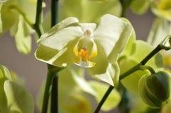 Ορχιδέα Phalaenopsis aphrodite κίτρινο Φωτογράφιση του πρώτου προσώπου ενός λουλουδιού Βοτανικά λουλούδια PL Phytology της βιολογ Στοκ Εικόνες