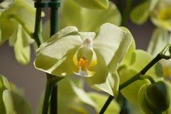 Ορχιδέα Phalaenopsis aphrodite κίτρινο Φωτογράφιση του πρώτου προσώπου ενός λουλουδιού Βοτανικά λουλούδια PL Phytology της βιολογ Στοκ εικόνα με δικαίωμα ελεύθερης χρήσης