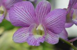 Ορχιδέα phalaenopsis Dendrobium ή στην Ινδονησία που καλείται ως Anggrek Larat Στοκ Φωτογραφία