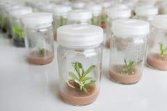 Ορχιδέα καλλιεργειών ιστού εγκαταστάσεων στοκ φωτογραφία