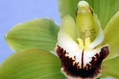 Ορχιδέα Λουλούδι πράσινο - κίτρινο χρώμα Κόκκινο τυλίγματος λουλουδιών στο Μαύρο Στοκ Εικόνες