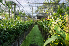 Ορχιδέα περγκολών στην Ταϊλάνδη Στοκ εικόνα με δικαίωμα ελεύθερης χρήσης