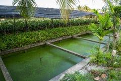 Ορχιδέα περγκολών στην Ταϊλάνδη Στοκ Εικόνες