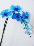 Ορχιδέα που απομονώνεται μπλε Στοκ Φωτογραφίες