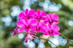 Ορχιδέα της Σόνια Dendrobium Στοκ φωτογραφίες με δικαίωμα ελεύθερης χρήσης