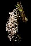 Ορχιδέα aphyllum Dendrobium Στοκ Φωτογραφία