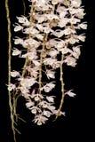 Ορχιδέα aphyllum Dendrobium Στοκ εικόνες με δικαίωμα ελεύθερης χρήσης